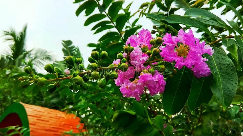 Lagerstroemia Speciosa or Pride of India royalty free stock images