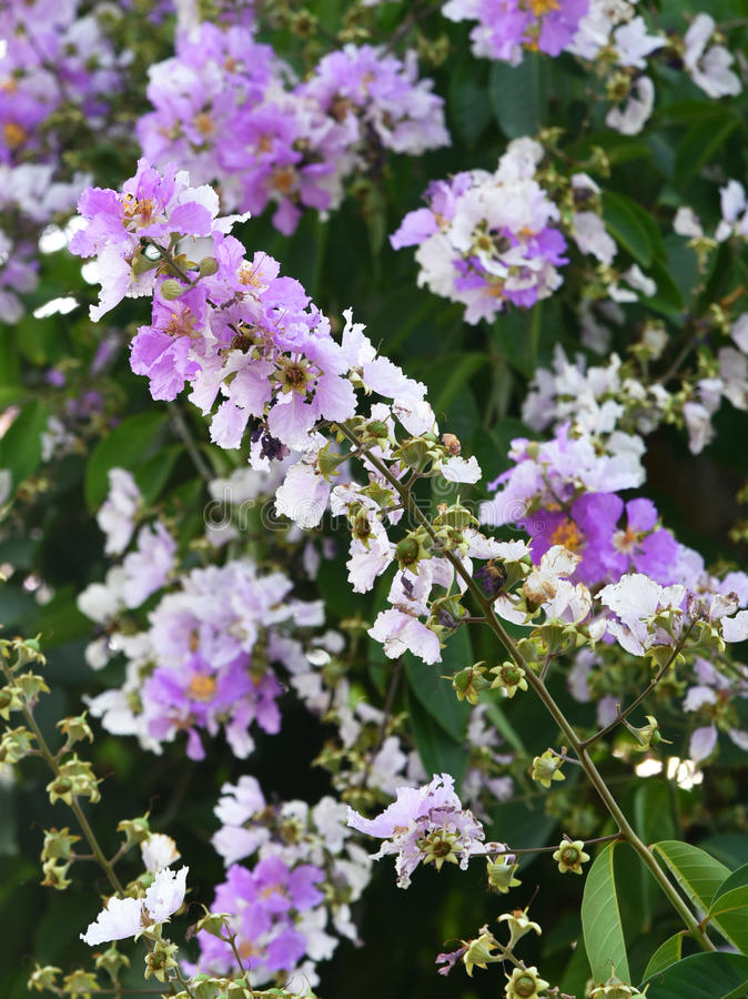 Lagerstroemia. The sun in full bloom Lagerstroemia indica royalty free stock images