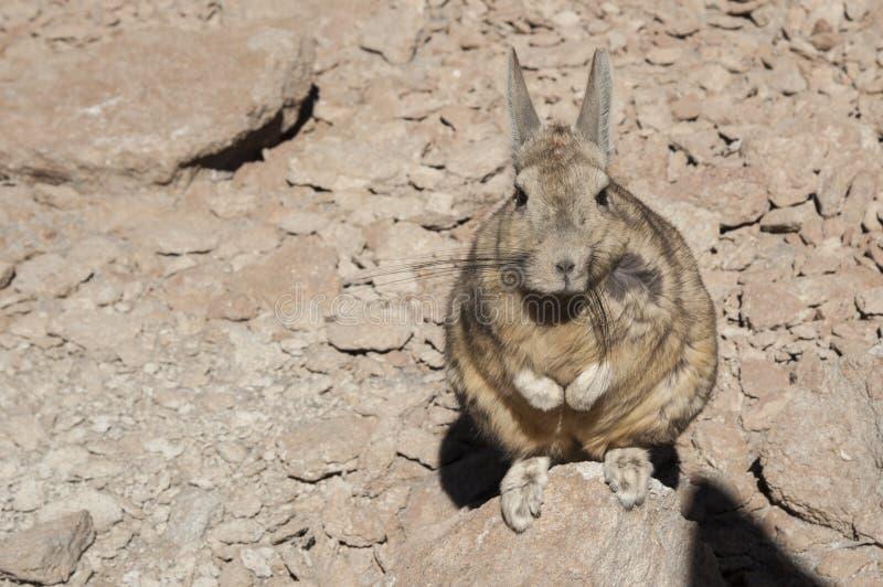 Lagidium do sul Viscacia de Viscacha ou de Vizcacha no deserto de Siloli - Bolívia foto de stock royalty free