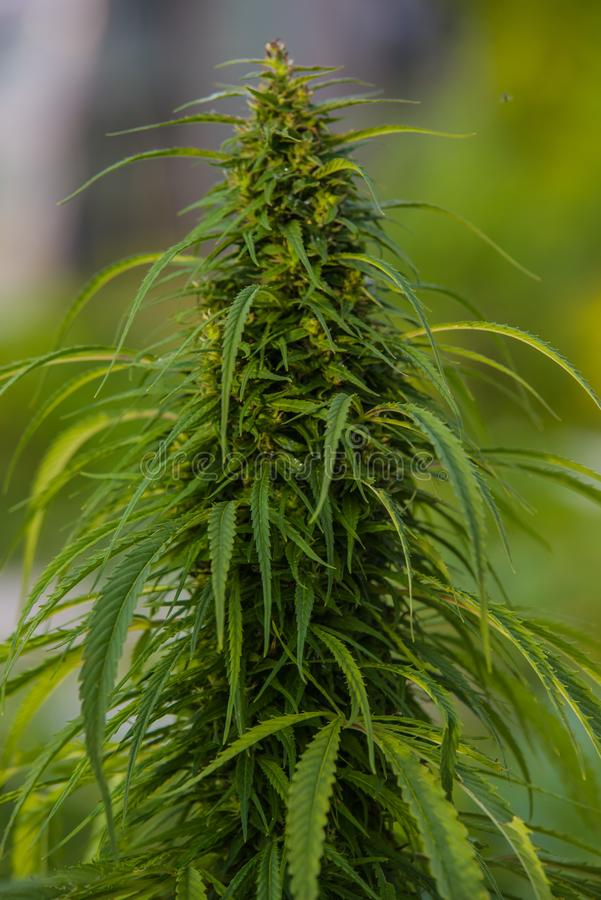 laglig cannabisväxt arkivfoto
