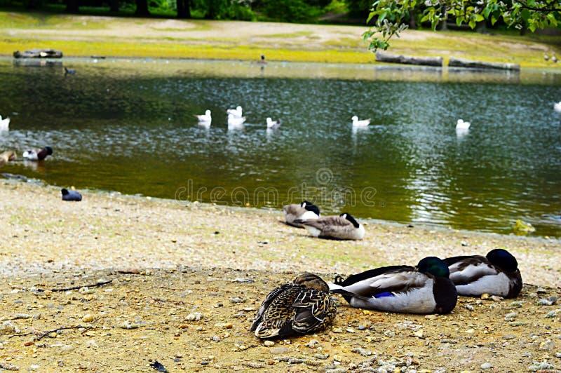 Lago, animale e natura a Londra fotografia stock libera da diritti
