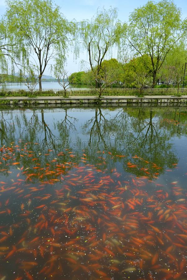 Lago china de los pescados del oro imagen de archivo libre de regalías