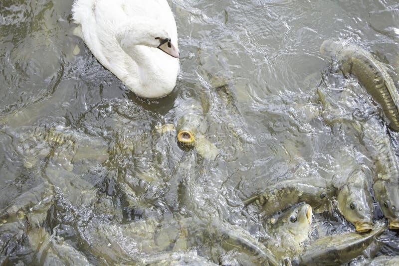 Lago con el cisne y las carpas fotografía de archivo libre de regalías