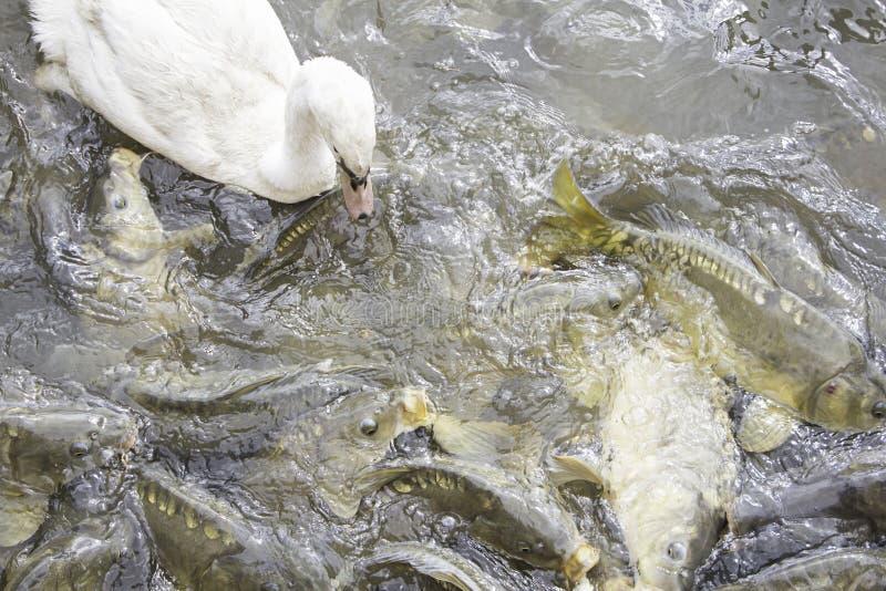 Lago con el cisne y las carpas imágenes de archivo libres de regalías