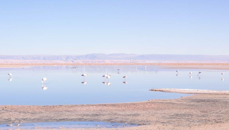 Lago con i fenicotteri nel deserto fotografie stock