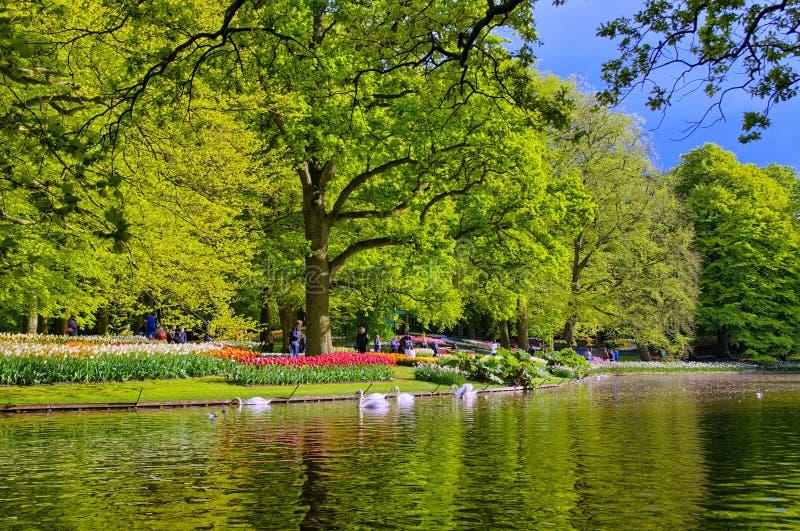 Lago con los cisnes blancos hermosos en el parque de Keukenhof, Lisse, Holanda imagen de archivo libre de regalías