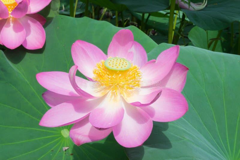 Lago con lotos florecientes imágenes de archivo libres de regalías