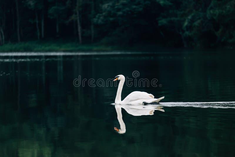 Lago con un cigno bianco immagine stock libera da diritti