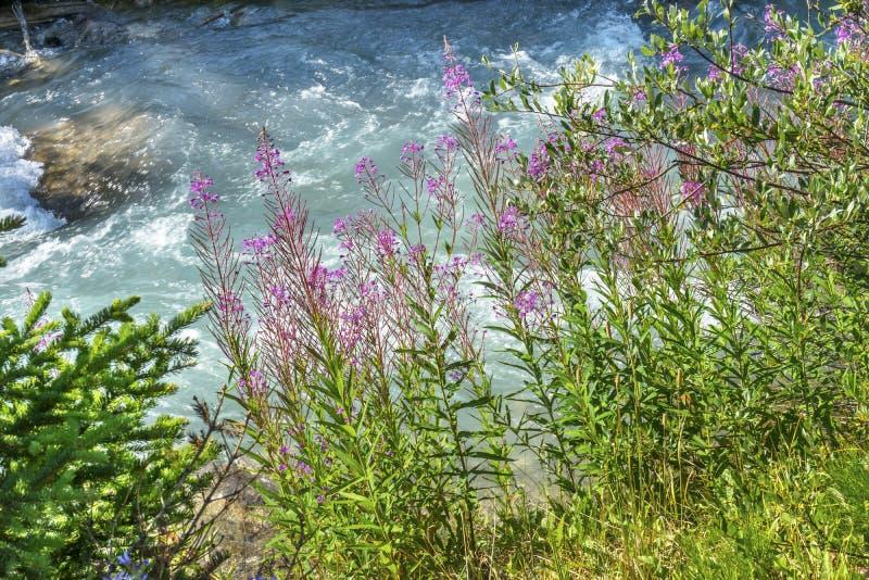 Lago cor-de-rosa Louise Banff National Park Alberta Canadá Wildflowers imagem de stock
