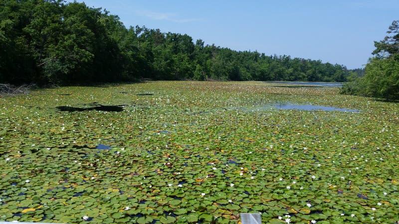 Lago de los cojines de lirio fotografía de archivo