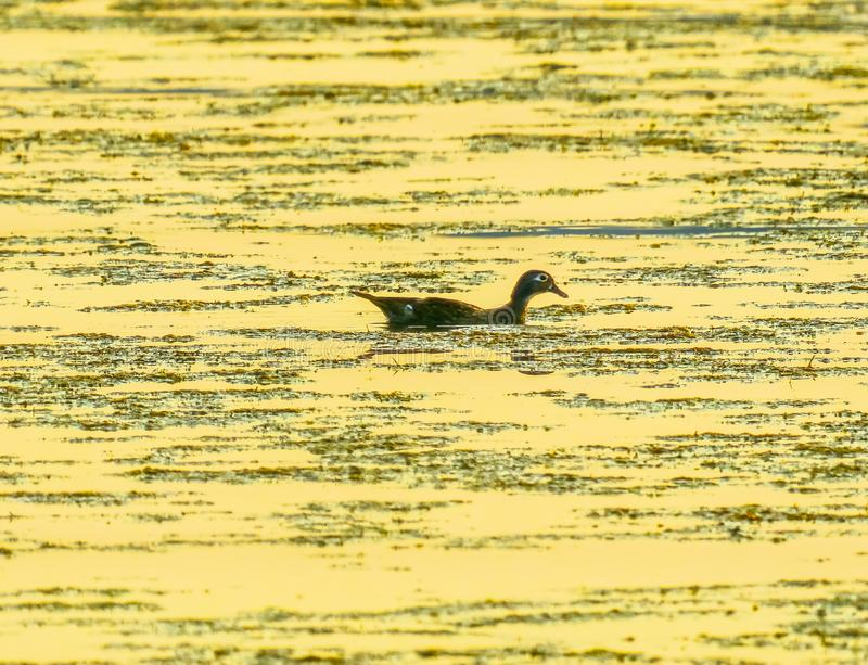 Lago de madeira fêmea Washington park de Duck Golden Sunset Juanita Bay fotografia de stock royalty free