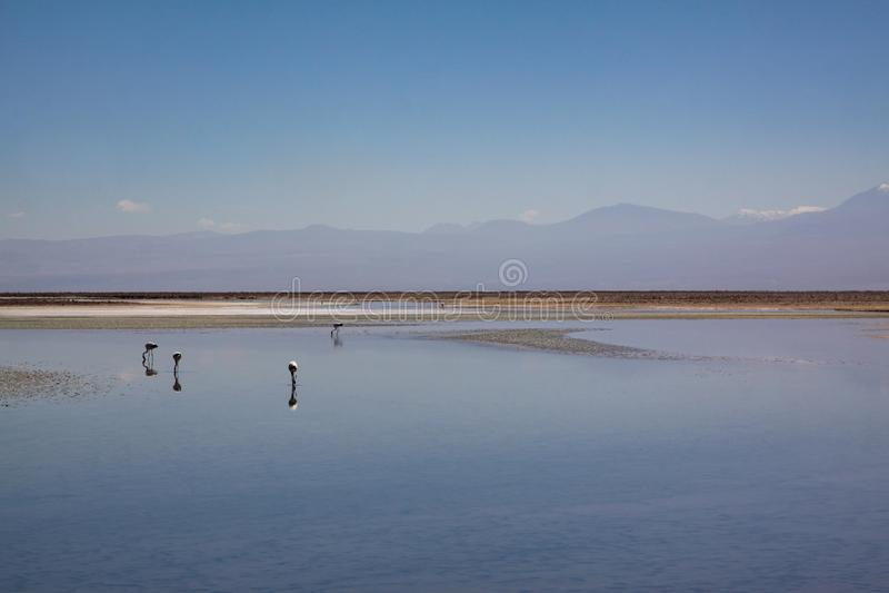 Lago de sal do flamingo imagens de stock royalty free