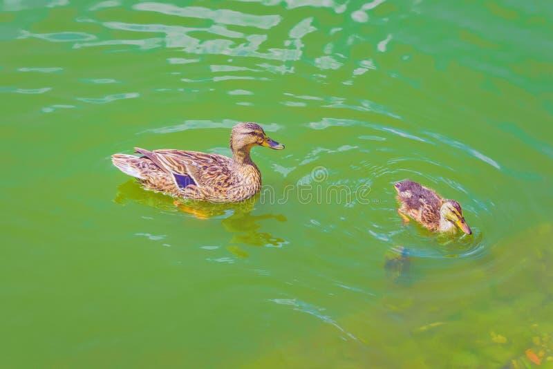 Lago del anadón del pato salvaje imagen de archivo libre de regalías