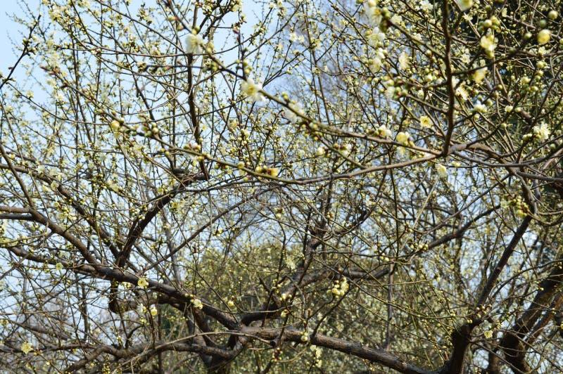 Lago del este Plum Garden foto de archivo