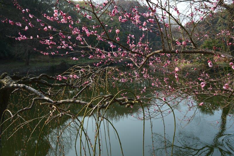 Lago del este Plum Garden fotografía de archivo libre de regalías