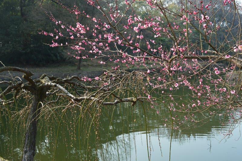 Lago del este Plum Garden imagen de archivo libre de regalías