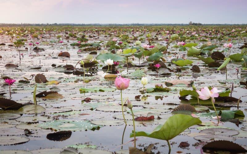Lago del loto rojo en Udonthani Tailandia (no vista en Tailandia) foto de archivo libre de regalías