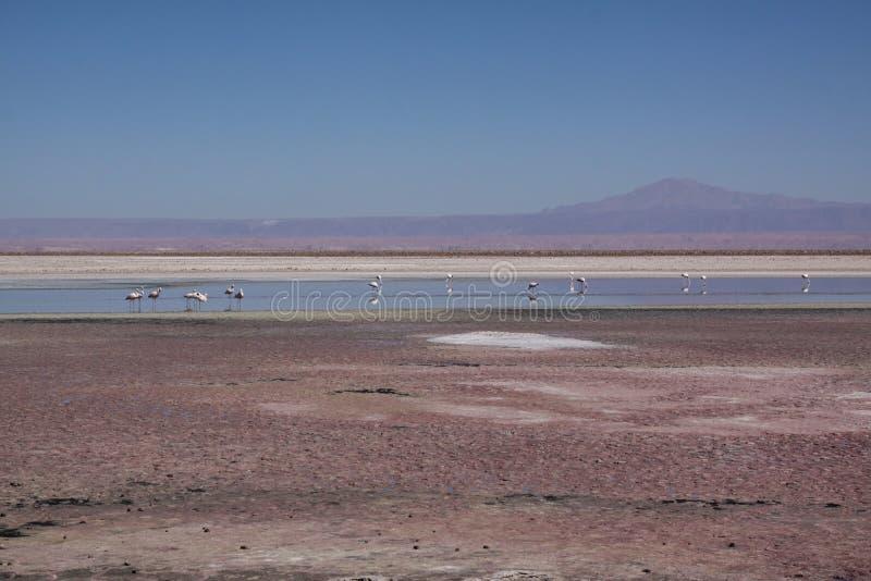 Lago di sale del fenicottero immagini stock