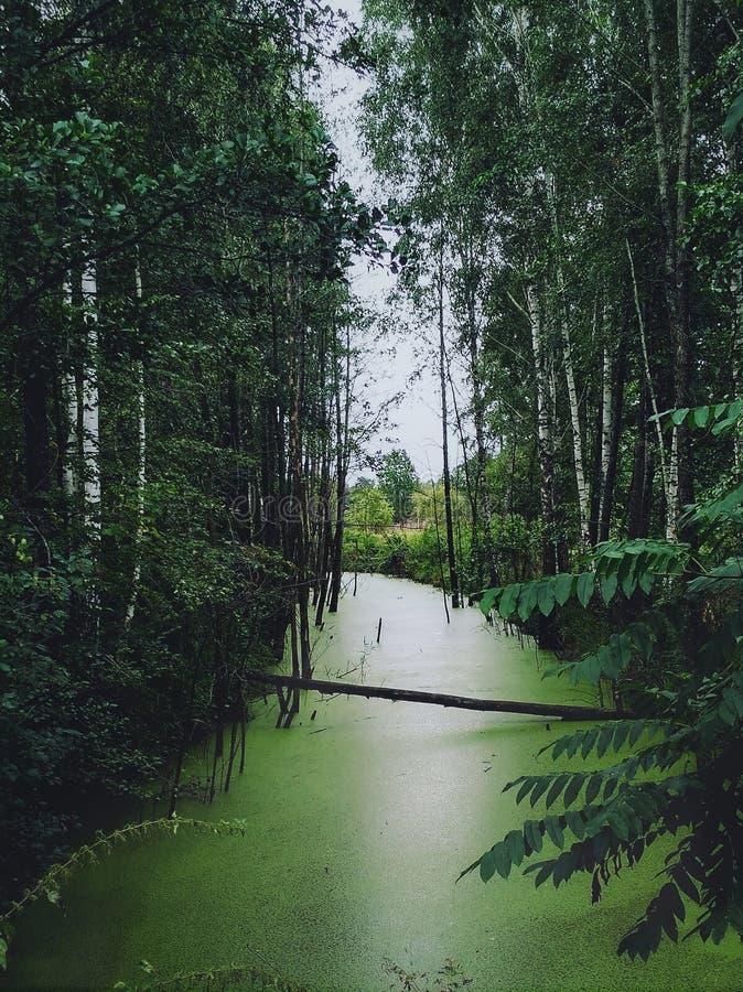 Lago e rio forest cobertos de vegeta??o com a lentilha-d'?gua imagem de stock royalty free