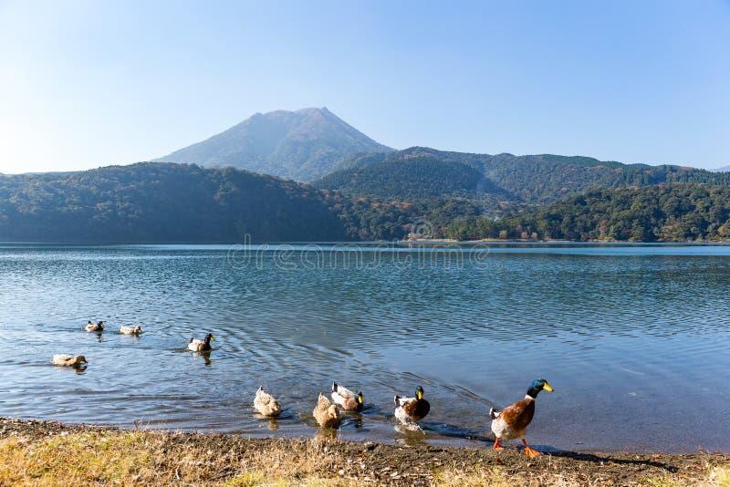 Lago e supporto Kirishima con l'anatra fotografia stock
