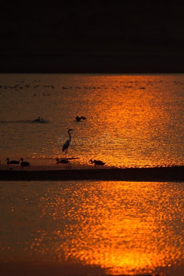 Lago en puesta del sol de oro con los patos y otros pájaros del humedal foto de archivo