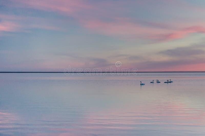 Lago en puesta del sol, foto delicada, arte swan fotos de archivo libres de regalías