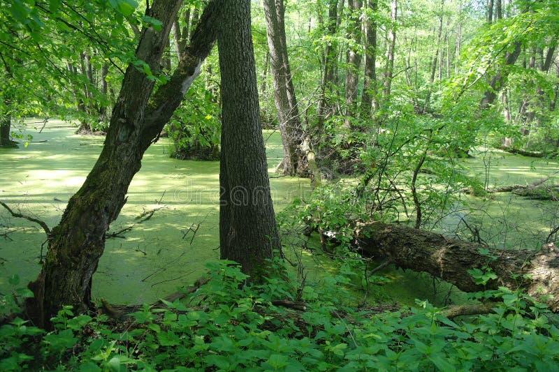 Lago en un verde de madera y árboles foto de archivo libre de regalías