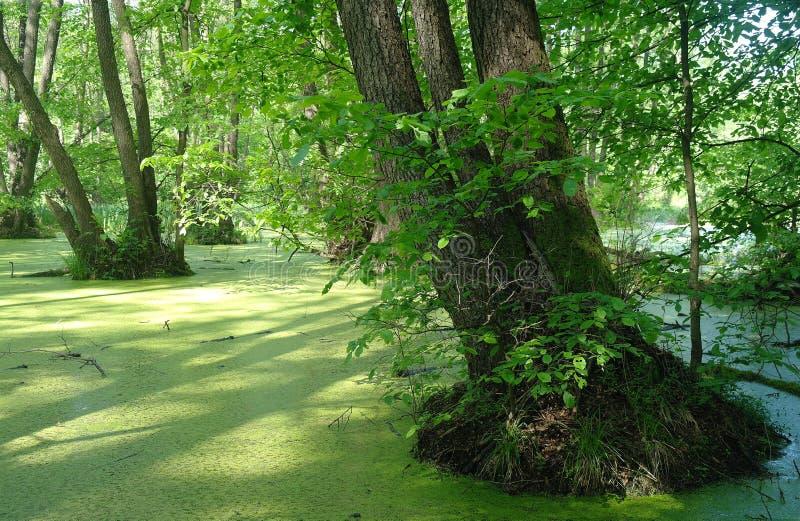 Lago en un verde de madera y árboles imagen de archivo libre de regalías