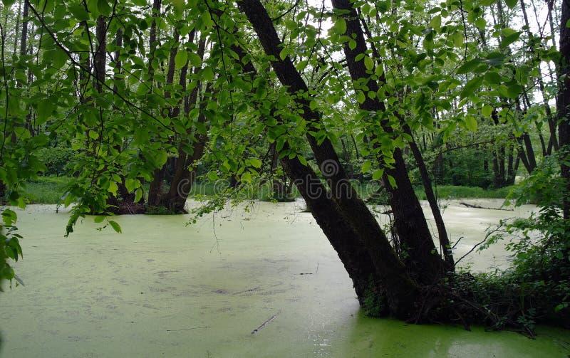 Lago en una madera. fotografía de archivo libre de regalías