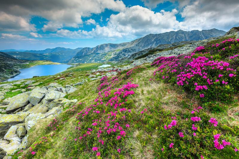 Lago flores del rododendro y de la montaña coloridas de Bucura, montañas de Retezat, Rumania foto de archivo