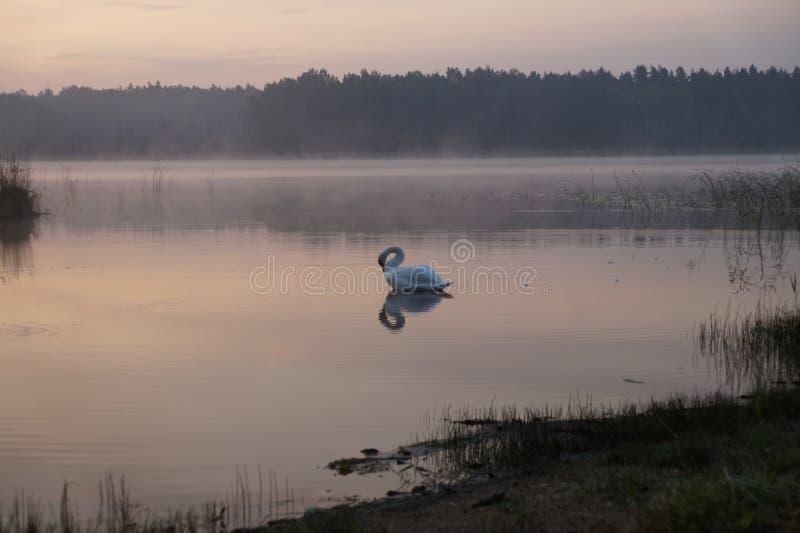 Lago forest su alba Estate Cigno nebbia immagine stock