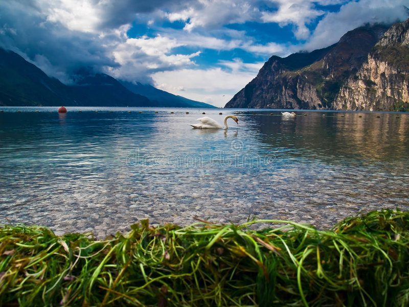 Lago Garda e sua cisne fotos de stock royalty free