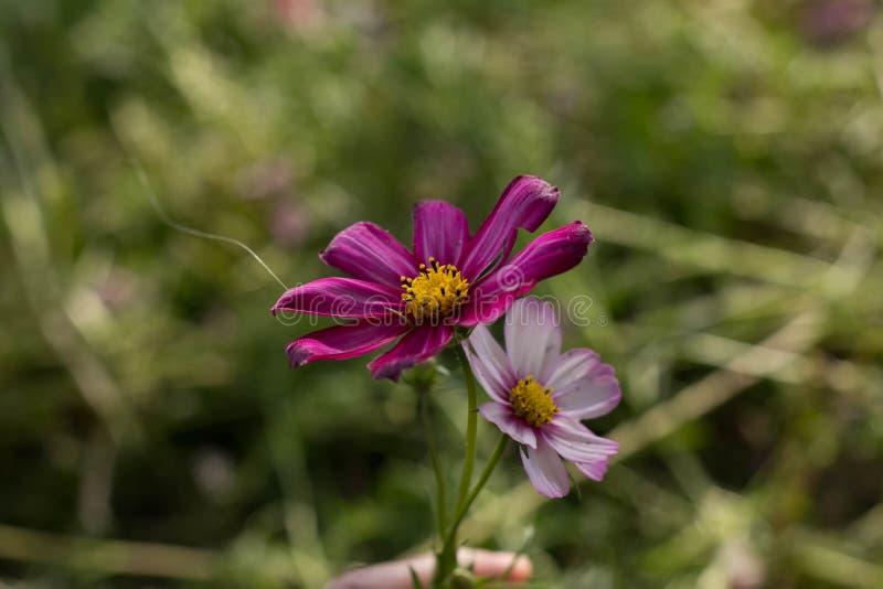 Lago Haizhu di fotografia della pianta del fiore di Sun fotografie stock