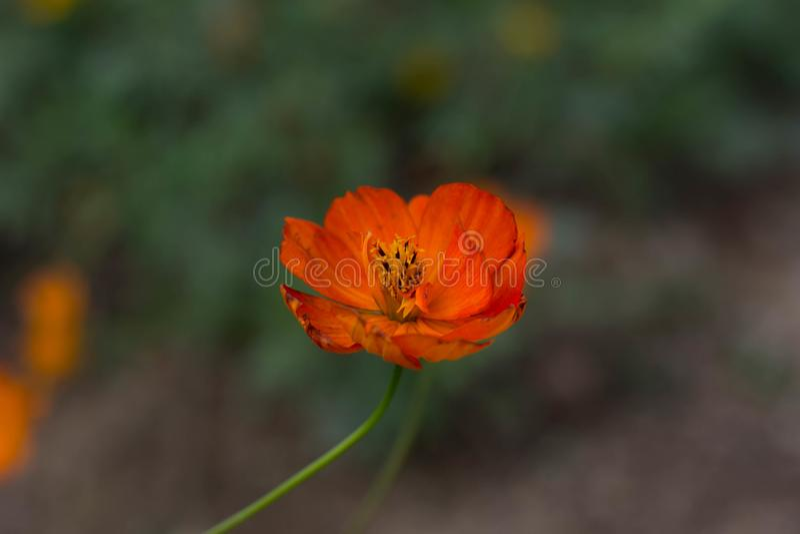 Lago Haizhu di fotografia della pianta del fiore di Sun immagini stock libere da diritti
