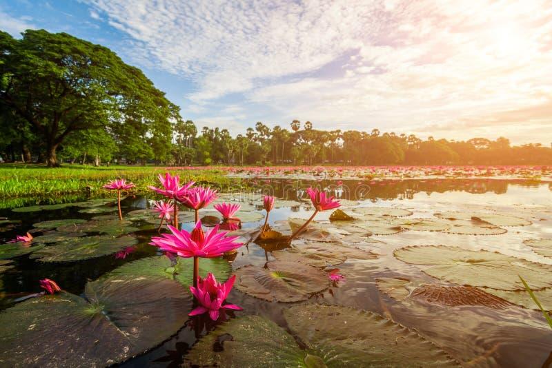 Lago hermoso con lotos en la puesta del sol imágenes de archivo libres de regalías