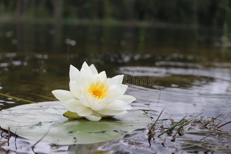 Lago Lilly Lotus fotografia de stock