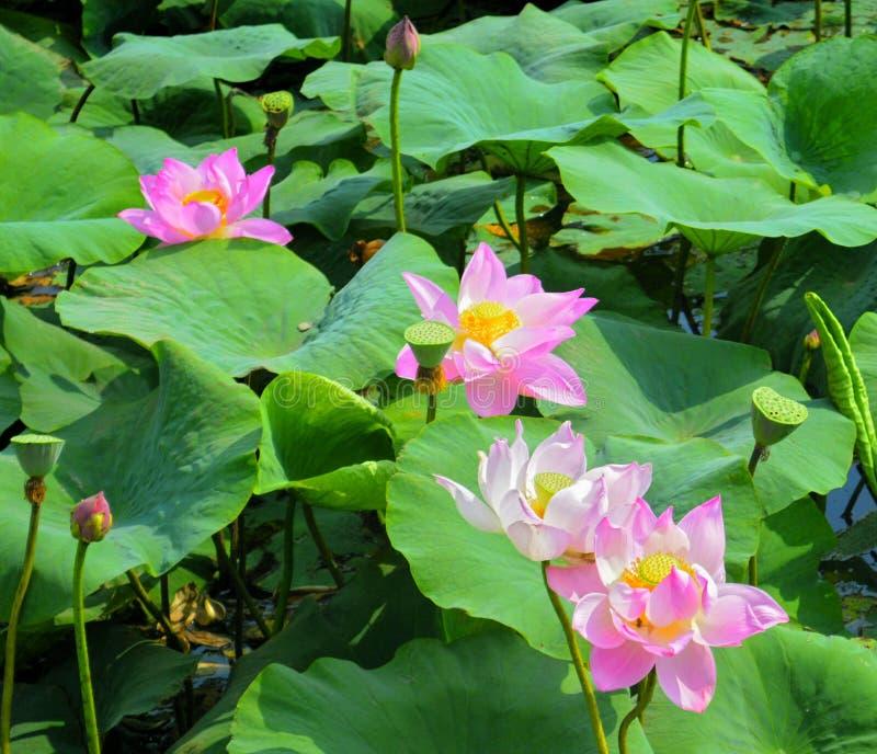 Lago lotus in Vladivostok Fioritura di Lotus nella regione di Primorsky immagini stock libere da diritti