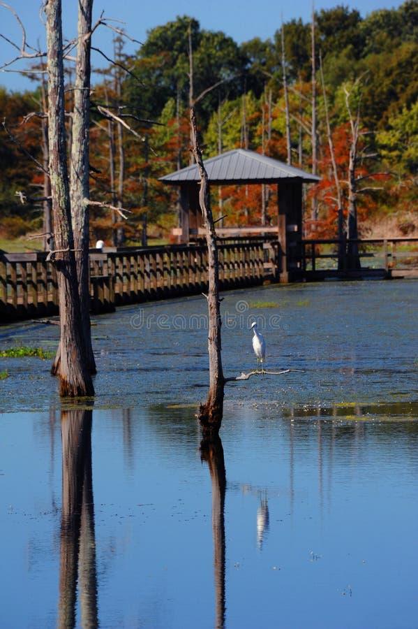 Lago negro bayou y garceta nevada foto de archivo