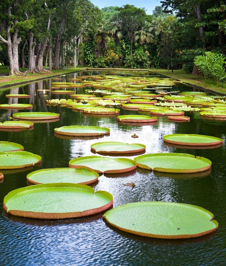 lago no parque com amazonica de Victoria, regia de Victoria imagem de stock