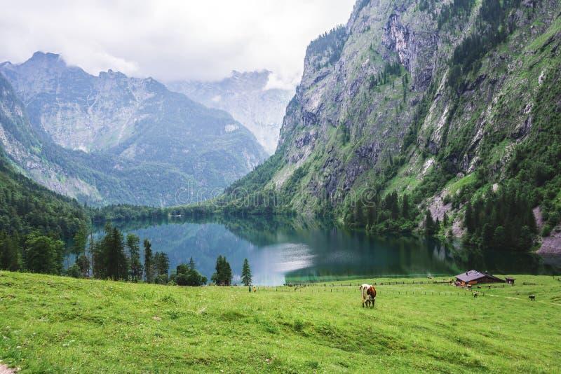 Lago Obersee, nau Konigssee, Baviera, Germania di Sch Grande paesaggio alpino con le mucche in parco nazionale Berchtesgaden immagini stock libere da diritti