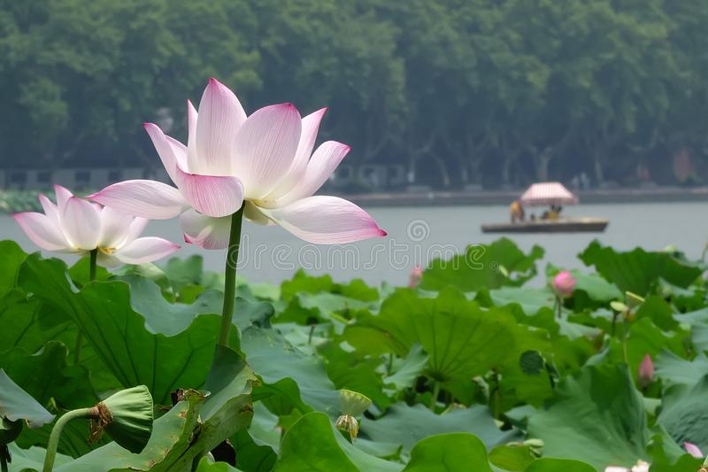 Lago ocidental Hangzhou no verão fotos de stock royalty free