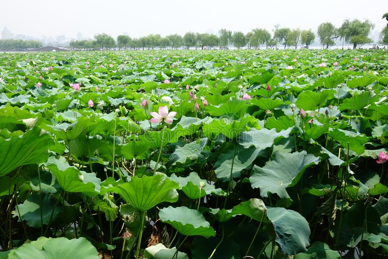 Lago ocidental Hangzhou no verão fotos de stock