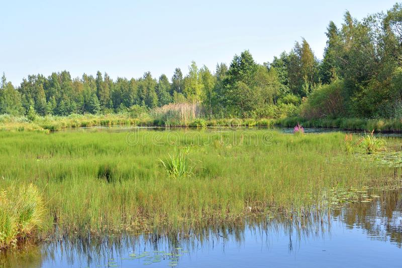 Lago Sestroretsky Razliv wetland imagenes de archivo
