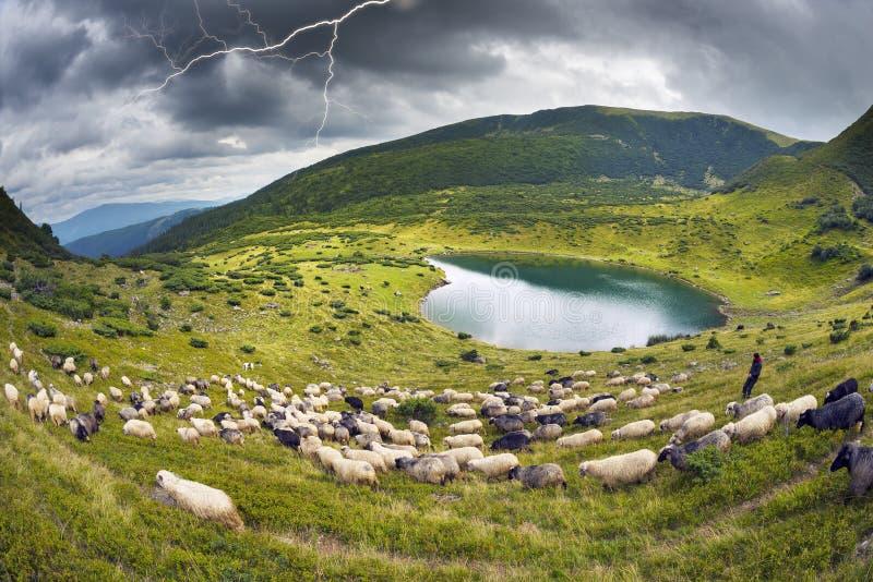 Lago sheep en los Cárpatos Vorozheska foto de archivo