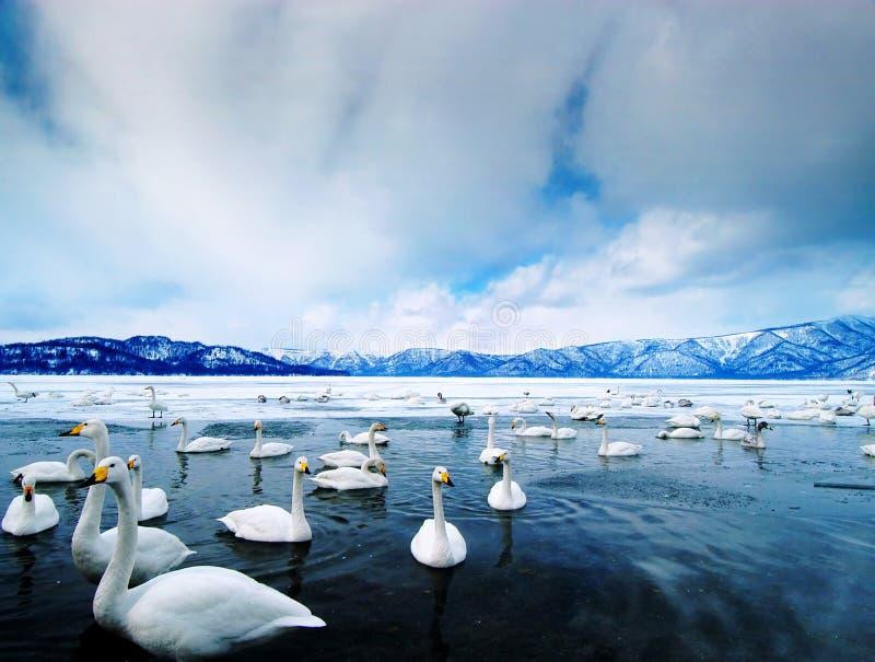 Lago swan fotografía de archivo libre de regalías
