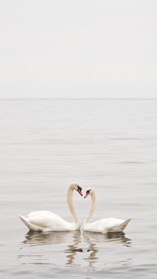 Lago swan fotografia stock libera da diritti