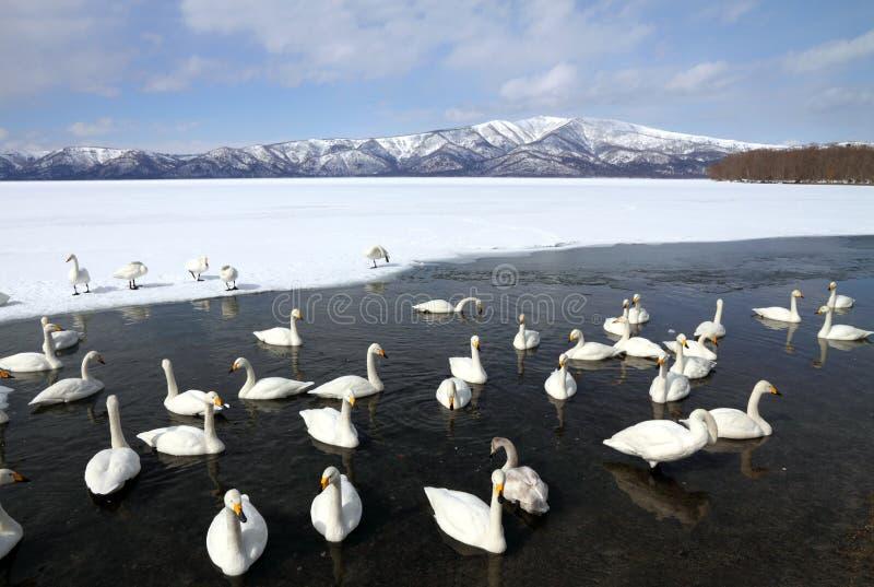 Lago swan fotografía de archivo