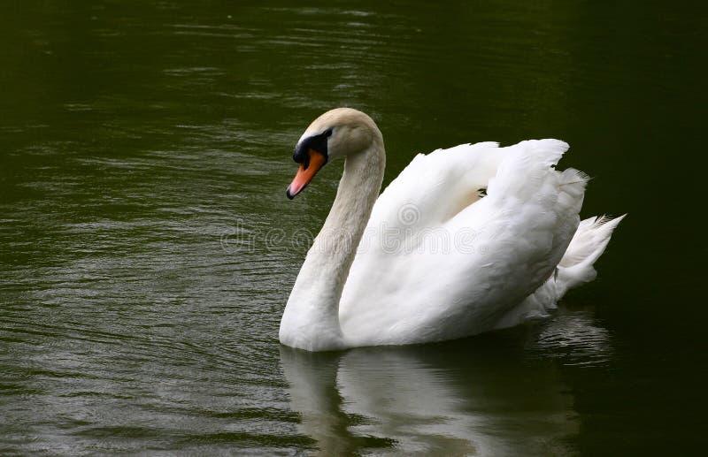 Lago swan fotos de archivo libres de regalías