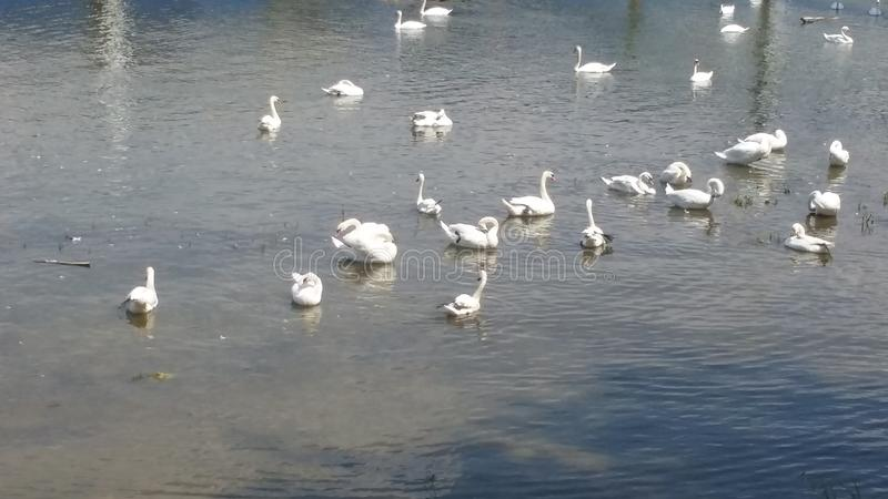 Lago swan imagen de archivo