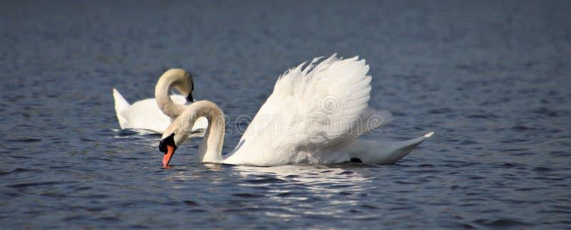Lago swan - en primavera foto de archivo libre de regalías